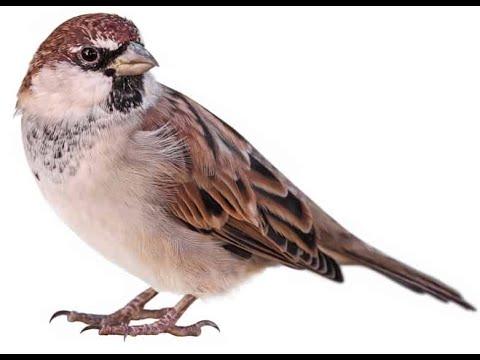 Bird Name- Sparrow