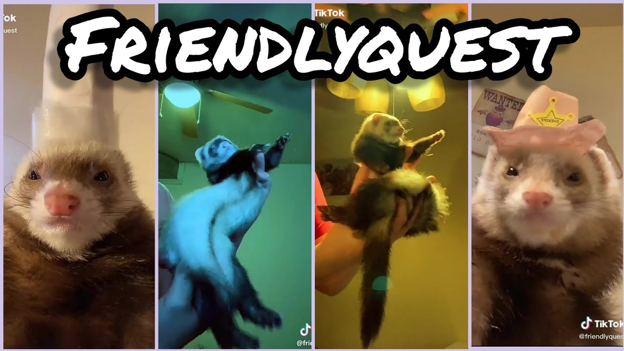 Ferret Dancing [Songs in the Description] - Best TikTok Compilation from @friendlyquest