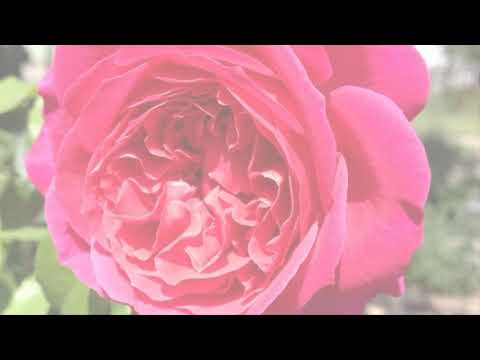 New David Austin Roses 2010-2018 Все сорта роз Дэвида Остина 2010-2018