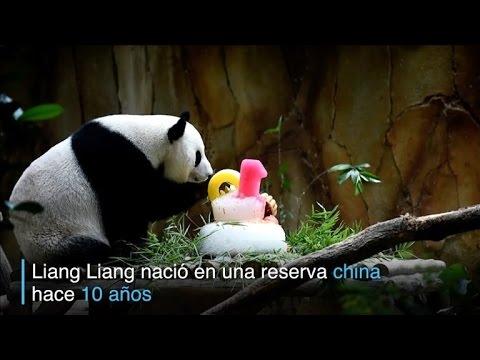 Pandas celebran cumpleaños en Kuala Lumpur