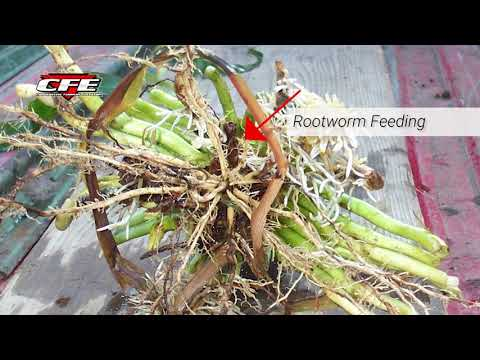 Corn Rootworm Back?