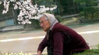 桜 花守り 小松城天守台 20100409
