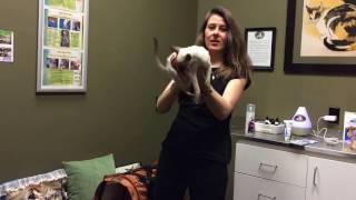 Dr Schell Vet in Calgary discusses Siamese cats