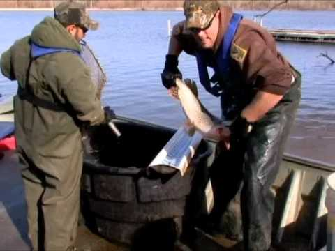 Pike Tagging At Kingman State Fishing Lake