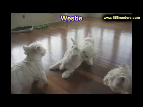 West Highland White Terrier, Westie, Puppies, Dogs, For Sale, In Memphis, Tennessee, TN, 19Breeders