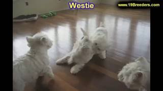 West Highland Terrier, Puppies, For, Sale, In, Milwaukee, Wisconsin, Wi, Brookfield, Wausau, New Ber