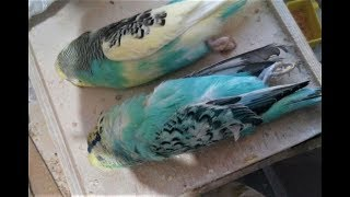 DİKKAT! Muhabbet Kuşu ÖLÜMCÜL Hastalık Belirtileri.