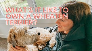 What's it like to own a Wheaten Terrier?