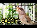 Pancingan Burung Cucak Kombo Gacor Ngeplong Suara Mantap  Mp3 - Mp4 Download