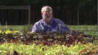 Ornamental Sweet Potato - Southern Gardening TV, August 29, 2012