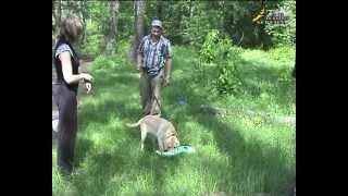Воспитание и дрессировка ОКД щенка лабрадора