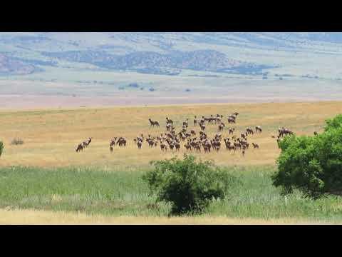 San Carlos Apache Reservation Bull Elk