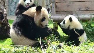 Twins panda babies, kaihin and Youhin, and their mother, Rauhin, at...