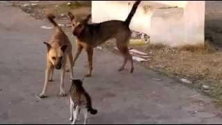 Кошка защищает свою подругу от собак-Cat Defends its Friend From Dogs