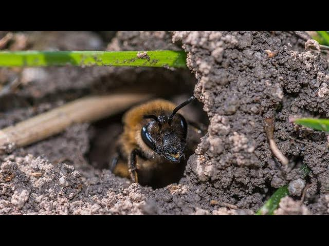 Ground Bees in Spring