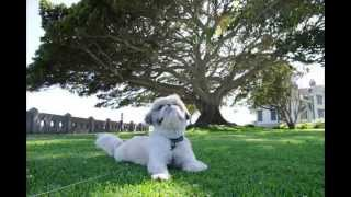 Little Lion (song For Jake The Shihtzu)