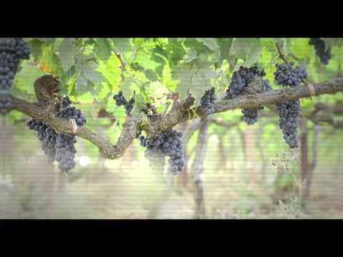 2015 Harvest Video - Masseto