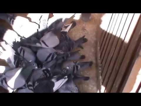 LEANING LOFT 2014 RACE TEAM RACING PIGEONS AUSTRALIA