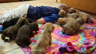 The CUTEST *Mini Dachshund* puppy video EVER!