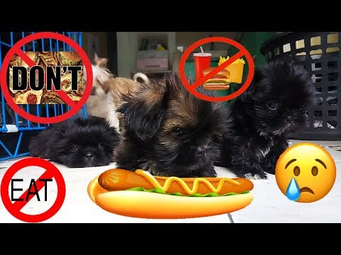 Harmful Food For Shih Tzu! [HD Video]