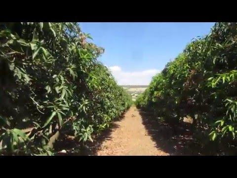 Jesus Trail (Nazareth to Capernaum),Ginosar Valley (Sea of Galilee) - a mango orchard