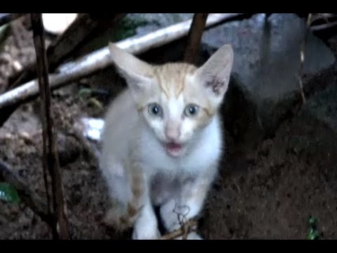 Abandoned kitten calling mother cat with loud meows :-(