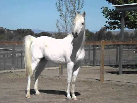 White arabian horse youtube - Arabian horse pictures ...
