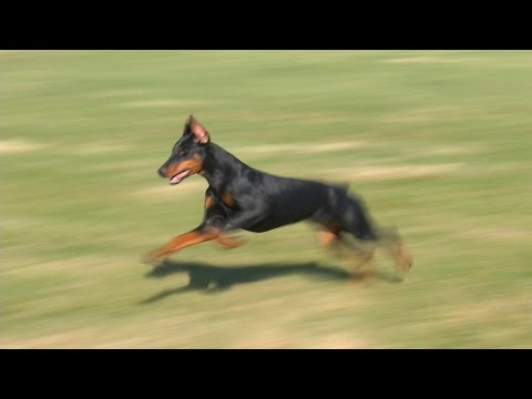 "Gorgeous Doberman Female ""Evie"" Obedience Protection Trained Super Dog"