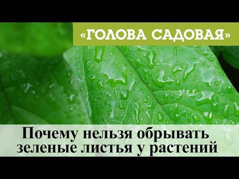 Голова садовая - Почему нельзя обрывать зеленые листья у растений