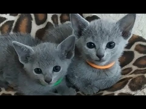Cutest Russian Blue Cat Smile