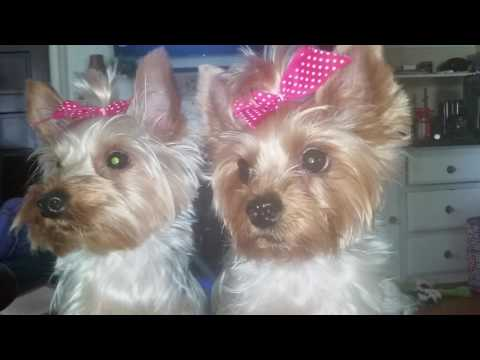 Fun with our Yorkies Tricks