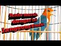 Anis Merah Full Isian Bagus Untuk Master Dan Pancingan  Mp3 - Mp4 Download