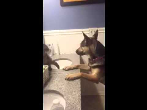 EPIC German Shepard vs Cat Boxing Match