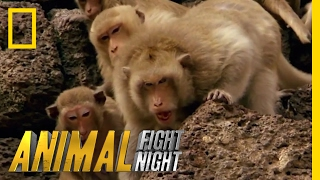Clash of Macaque Monkey Clans | Animal Fight Night