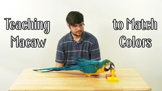Rachel Blue & Gold Macaw - Learning to Differentiate Colors