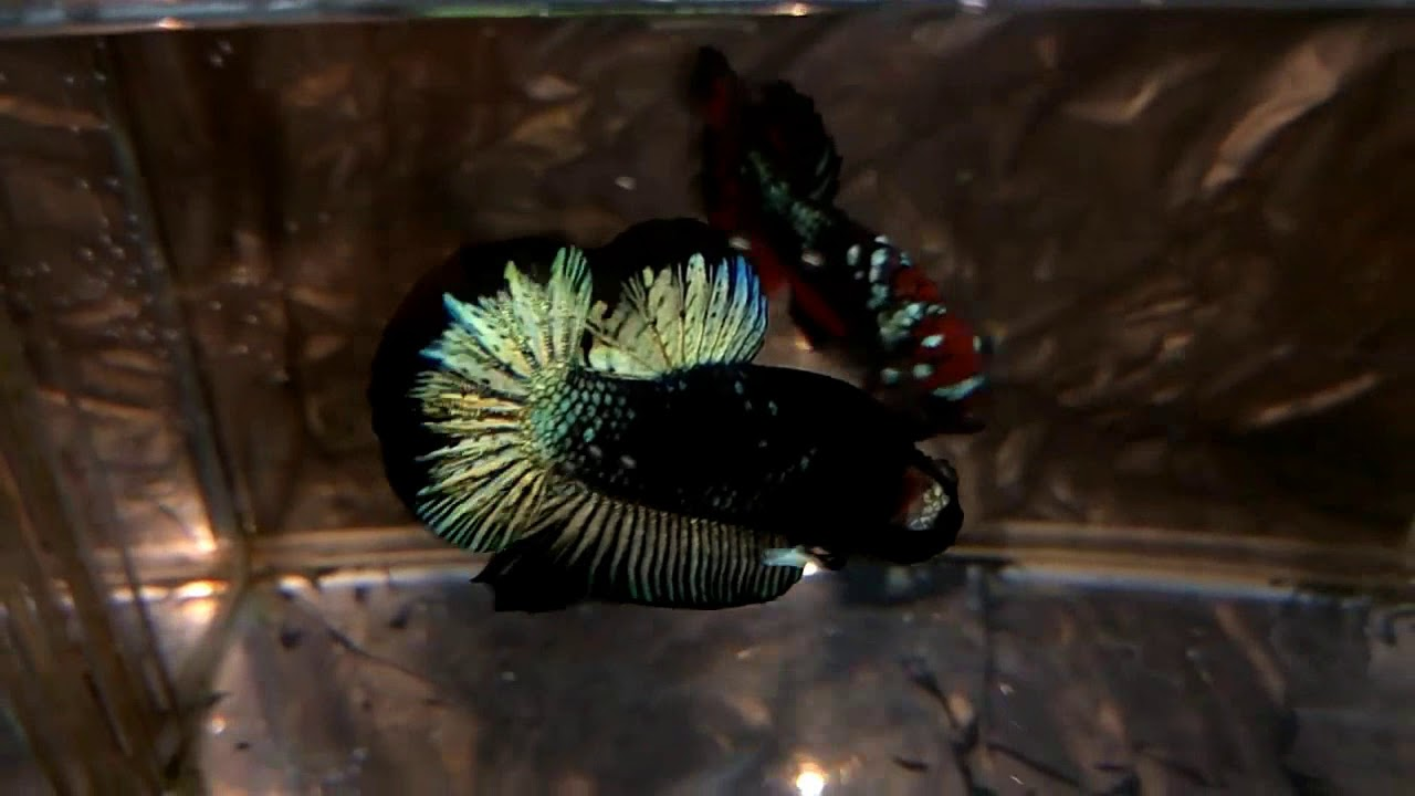Dalam sejarahnya, ikan cupang serit dikembangbiakkan oleh ahmad yusuf, peternak asal jakarta timur pada tahun 1997. Jenis ikan cupang avatar - YouTube