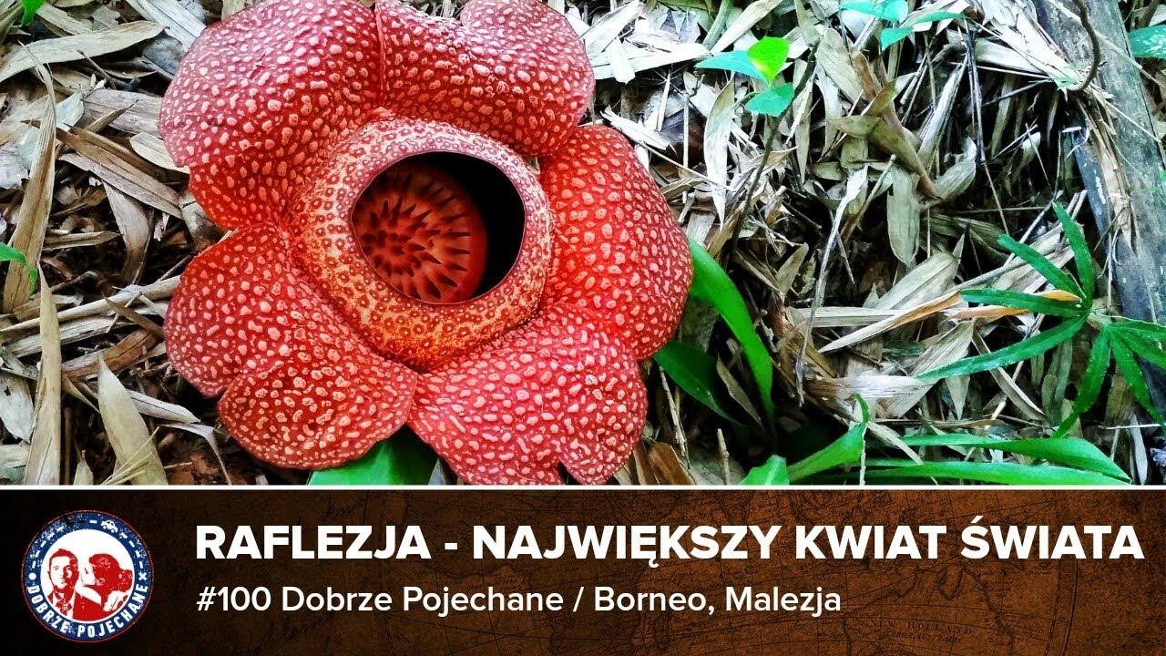 Malezja Borneo 02 Raflezja Najwiekszy Kwiat Swiata Dobrze Pojechane Youtube