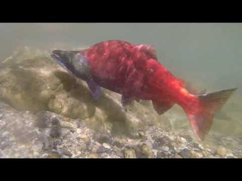 Kokanee Fishing Palisades Idaho