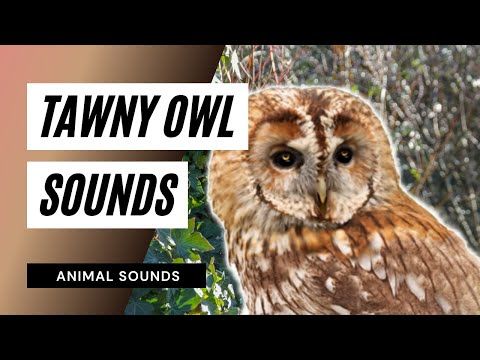 The Animal Sounds: Tawny Owl Calling  Sound Effect  Animation
