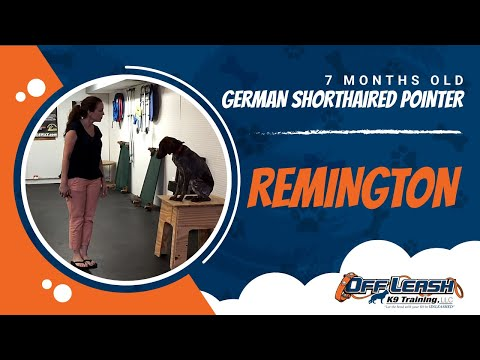 1-Year Old German Shorthaired Pointer, Remington!  GSP Dog Training | Pointer Dog Trainers Virginia