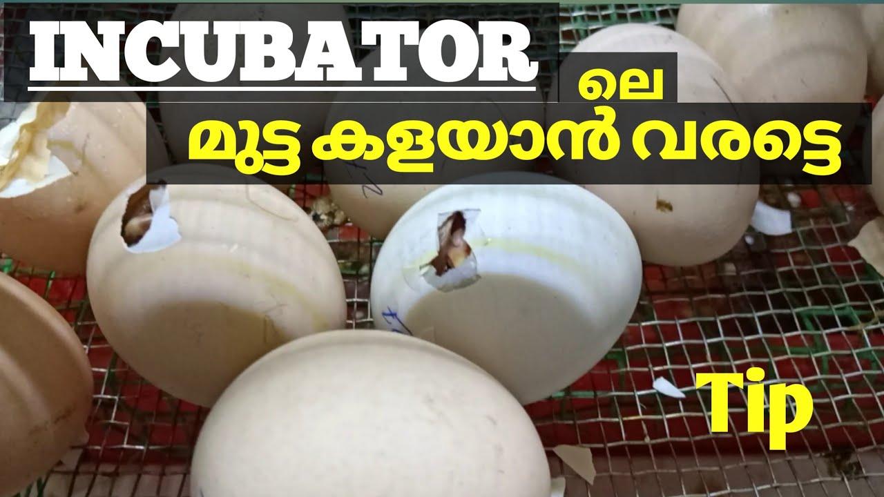 Download Chick hatching trick's... വിരിയാത്ത മുട്ടയും ഇനി ഇങ്ങനെ വിരിയിക്കാം | Incubator Malayalam Tips |