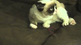 Repeat youtube video Another Grumpy Cat Video!