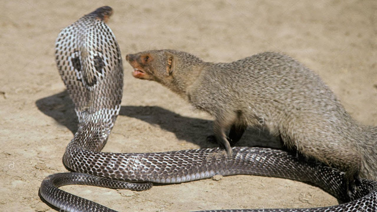 Mongoose and Snake fight to the death!!!