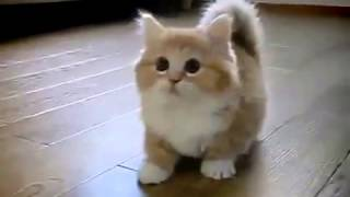 Munchkin cat playing with her mistress