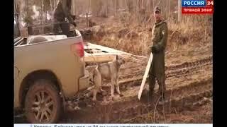 Собака напала на человека и чуть не разорвала его на части,  Вести Иркутск  360p