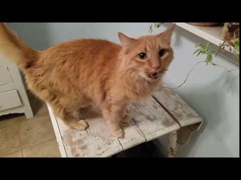 CUTE CAT REPLIES TO OWNER!