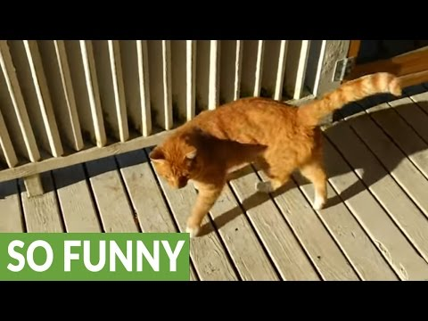 Vocal cat loves to chat with his owner