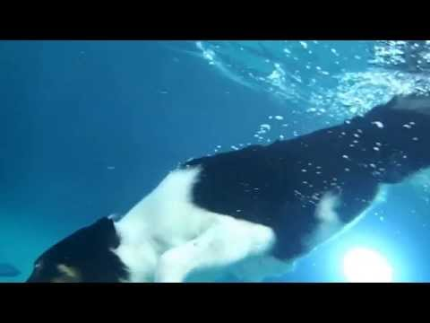 Border Collie Feature diving underwater in swimming pool for her dog toy - slow mo