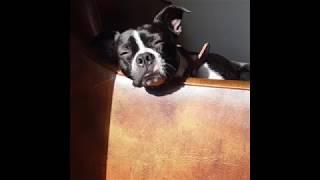 Miniature Boxer VS Boston Terrier