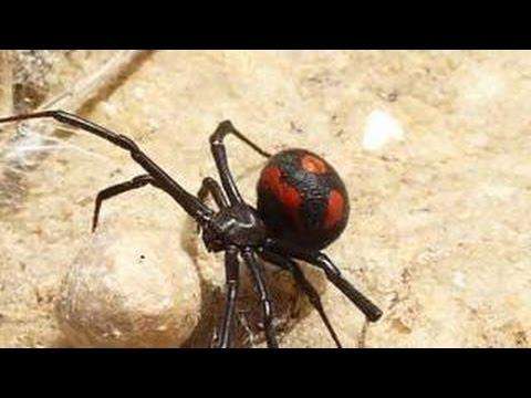 Ядовитые пауки добрались до российского Поволжья - YouTube